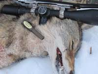 coyote with cottontail distress call by pocket call game calls