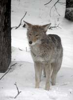 coyote calling tips